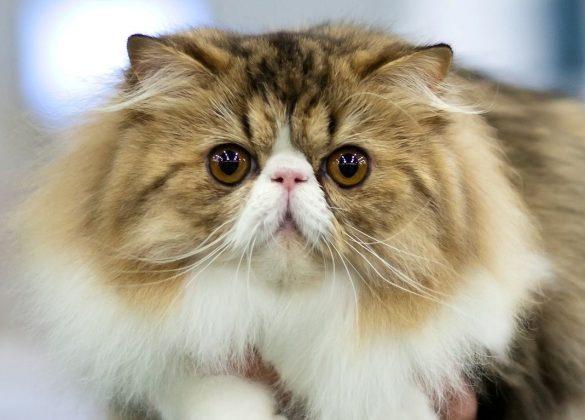 Düz suratlı kedi ırkları: Bu kedileri üretmek neden acımasızca? | Anadolu Kedisi